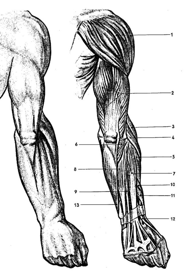Cviky na tricepsy - anatomie horní končetiny ze zadního pohledu   onefit.cz
